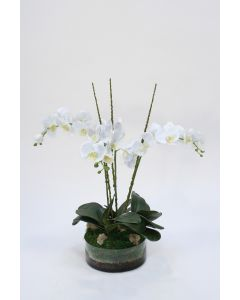Waterlook® Cream White Phaleanopsis Orchids with Foliage in Low Round Glass Vase