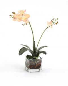 Waterlook® Cream-Pink Phalaenopsis Plant in Glass Cube