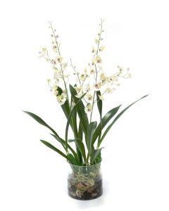 White Oncidium Orchid Rock Garden in Cylinder