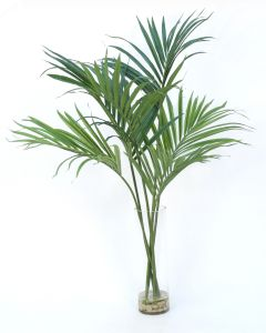 Kentia Palm in Clear Vase
