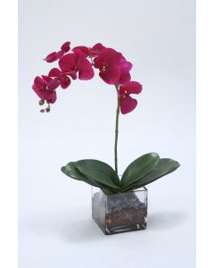 Violet Phalaenopsis Orchid X 1 with Orchid Plant in Glass Square Cube