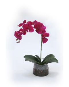 Violet Orchid with Foliage