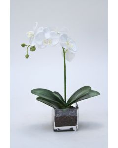 White Phalaenopsis Orchid in Rectangular Vase