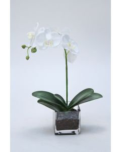White Phalaenopsis Orchid with Plant in Glass