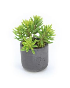 Sedum Succulents in Black Stone Pot (Min Pack 2)