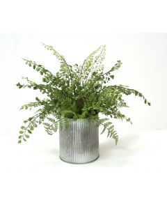 Maiden Hair Fern in Tin Ribbed Pot (Sold in Multiples of 4)