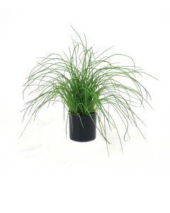 Green Grass in Black Shiny Circle Pot