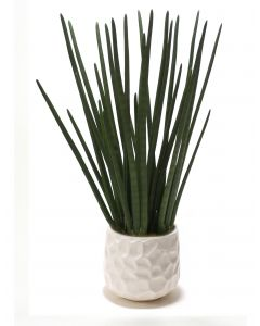 Sanseveria in White Gabbi Pot