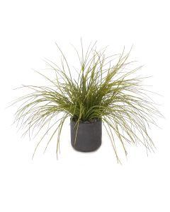 Onion Grass in Black Wash Pot