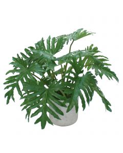 Philodendron Selloum Leaves in Grey Wash Pot