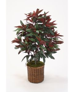 Capensia Bush Floor Plant in Stained Split Rattan Basket Option