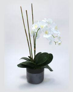 White Phaleanopsis Orchid in Black Ceramic