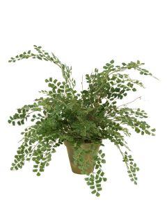 """Maidenhair Fern in 6"""" Olive Green Garden Pot"""