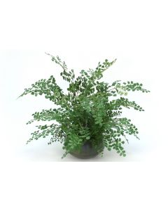 Maiden Hair Fern in Sosa Metal Bowl