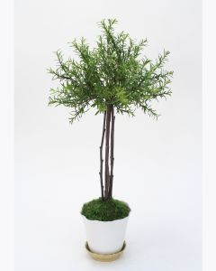 Small Thyme Tree in White Pot with Gold Saucer