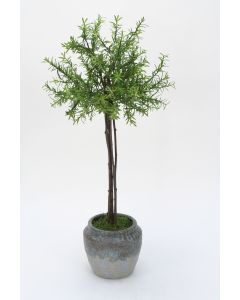 Small Thyme Tree in Blue Earthy Pot