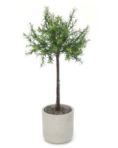 Rosemary Thyme Tree in LIght Grey Pot