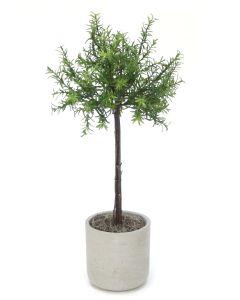 Rosemary Thyme Tree in Light Grey Pot