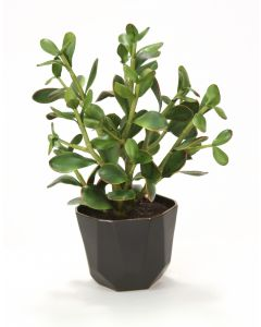 Jade Plant with Soil in Matte Black Benito Pot