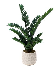 Zz Plant in Large White Gabi Pot