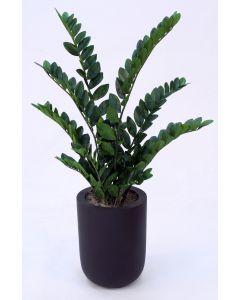 Zz Plant in Small Dice Black Planter