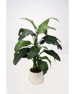 4' Musa Coccinea (Red Banana) in White Gabi Vase