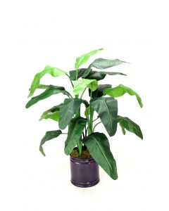4' Musa Coccinea (Red Banana) in Round Bronze Planter