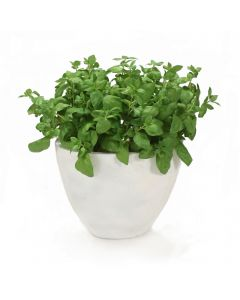 Basil in Oval Planter