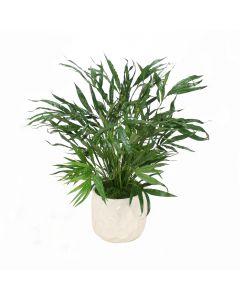 Kentia Palm in White Planter