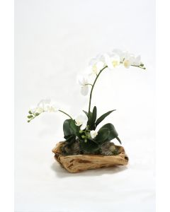 White Phalaenopsis Orchid Garden in Wooden Bowl