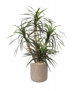 Dracaena Marginata in Gray Stone Charlie Planter