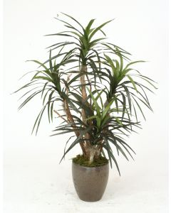 Dracaena Marginata in Crystal Bronze Plum Pot