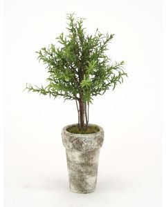 Double Rosemary Topiary Tree with Birch Limbs in Aged Antique White French Pot