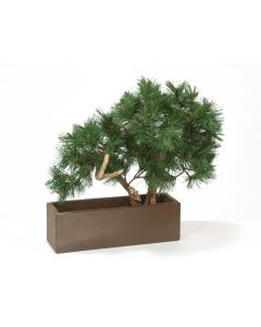 Pine Bonsai In Brown Rectangular Planter
