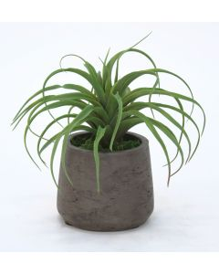 Tillandsia Air Plant in Chocolate Pot