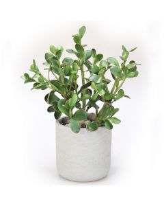 Jade Plants in Grey Washed Planter