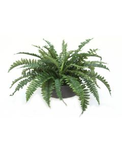 Boston Fern in Low Black Wash Bowl