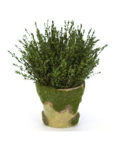 Grabia Basil in Moss Pot