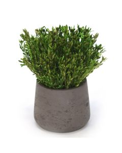 Green Pubescens in Chocolate Planter (Pack 2)