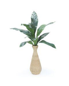 Aspipistra Plant in Abaca Vase