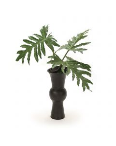 Selloum Philo Leaf with Pods in Black Container