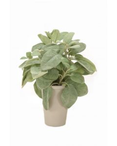 Sage in Grey French Pot