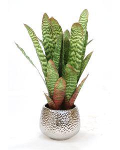 Striped Bromeliad in Silver Super Nova Ceramic Planter