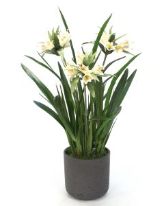 Cream White Crown Imperial with Orchid Foliage in Black Pot