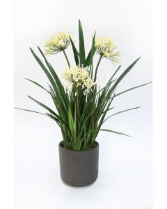 Cream White Agapanthus With Orchid Foliage in Egg Pot