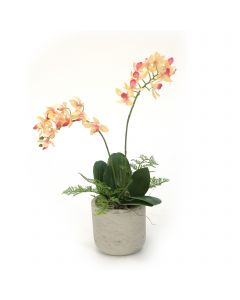 Mini Phalaenopsis Plants in Sm Grey Planter (Pack 2)