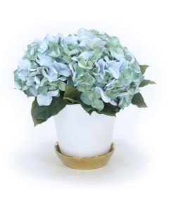 Hydrangea's in White Flower Pot with Gold Saucer