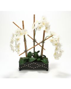 Cream-White Phalaenopsis Orchids in Black Leather Box with Silver Studs