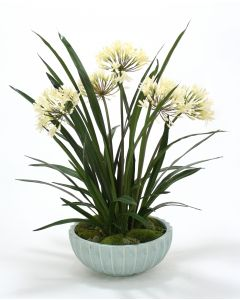 Cream White Agapanthas in Blue Bowl