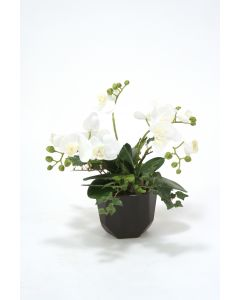 White Phalaenopsis Orchids in Black Benito Pot